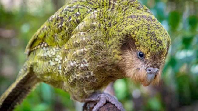 Tentang Kakapo, Nuri Endemik Selandia Baru yang Terancam Punah