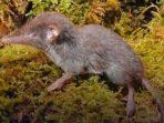 agi yang Hujan dan Kisah Penemuan Spesies Baru di Tanah Sulawesi