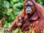 Sebab Orangutan, DP Bisa Kena Denda 100 Juta Rupiah