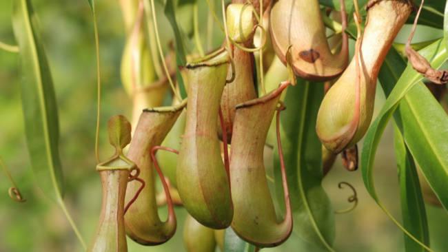 Sekilas Tentang Kantong Semar, Sang Pengontrol Inflasi Serangga