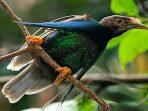Pesona Bidadari yang Menari di Hutan Maluku
