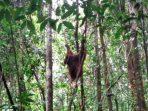 Di usia 6 Tahun, Unyu Jadi Penghuni Kawasan TN Bukit Baka Bukit Raya