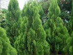 Pohon Cemara, Tumbuhan Hijau Abadi yang Bernapas Ratusan Tahun