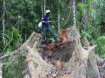 Komisaris CV. SBM Ditetapkan Sebagai Tersangka Illegal Logging