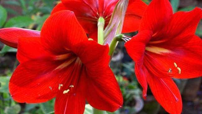 Makna yang Kelilingi Bunga Lili Berdasarkan Warnanya
