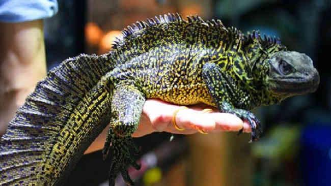 Mengenal 3 Jenis Satwa Endemik Sulawesi yang Dipulangkan ke Rumah