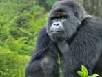 Penutupan Taman Nasional, Langkah Bijak Lindungi Kera Besar dari Covid-19