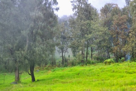 cemara gunung di Toraja