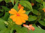 Bunga Basah, si Liar yang Hilang di Kemarau, Memesona di Musim Basah