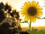 tanaman herbal bunga matahari