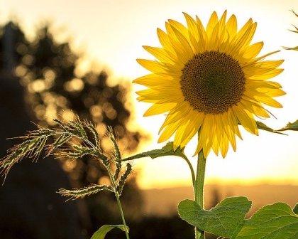 Di Balik Warna Terangnya Ini 7 Filosofi Bunga Matahari Klik Hijau