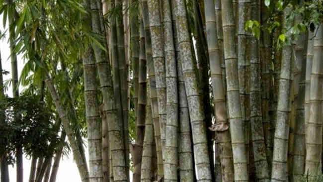 Perihal Bambu dan 5 Manfaat Utamanya yang Mencengankan!