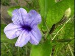 Kencana Ungu, Bunga teman Bermain di Masa Kecil yang Kaya Manfaat