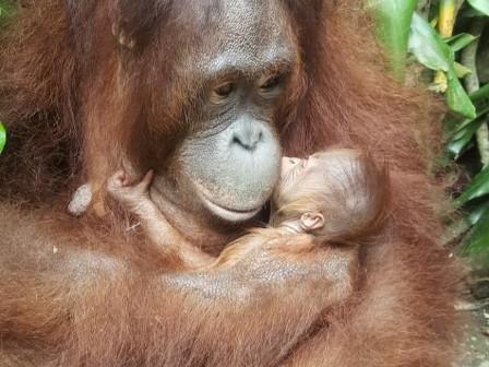 Lahir di Momen Lebaran, Bayi Orangutan di TSI Cisarua Diberi Nama Fitri