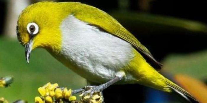 Meski Statusnya Dilindungi Burung Pleci Tidak Bebas Terbang