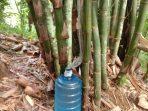 Sari Bambu, Minuman Alami Petani di Salassae yang Berkhasiat Jaga Stamina