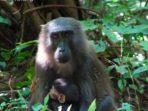satwa liar monyet dare