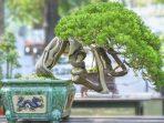 Bonsai Beringin, di Balik Kelebihan dan Kekurangannya, Sentuhan Klasiknya Mewah