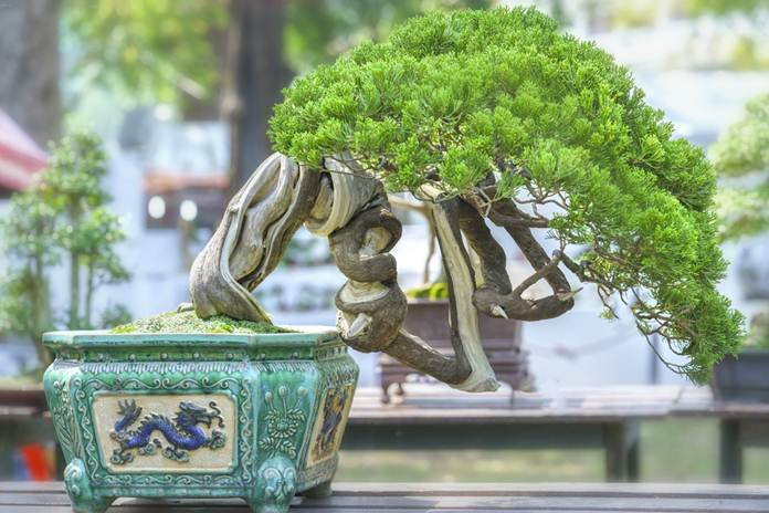 Bonsai Beringin, di Balik Kelebihan dan Kekurangannya, Sentuhan Klasiknya  Mewah • Klik Hijau
