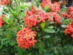 "Bunga Asoka yang Cantik, Si ""Anti Sedih"" yang Manfaatnya Menakjubkan!"