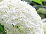Bunga Hydrangea, Cantik nan Populer, Ini 10 Fakta Menarik Tentangnya!