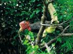 Burung Enggang Gading, Pelestari Hutan yang Haus Perhatian