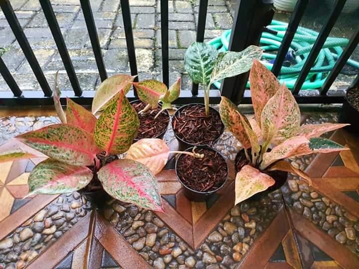 aglonema tanaman hias