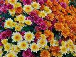 Cara Merawat Bunga Krisan Agar Tumbuh Subur Memesona