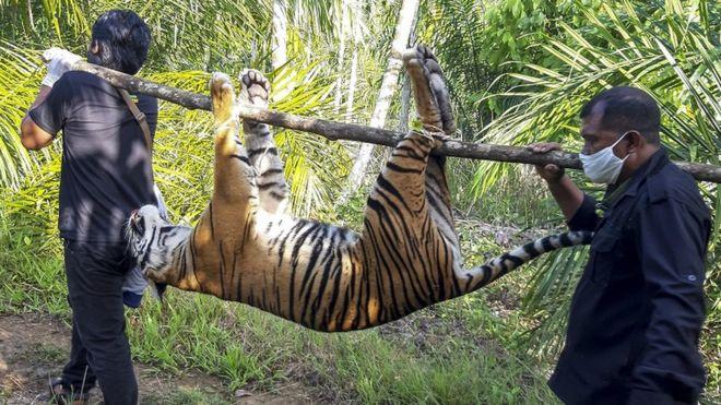 Lagi dan Lagi, Harimau Sumatera Ditemukan Kehilangan Nyawa