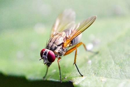7 Cara Alami Membasmi Lalat Buah di Rumah tanpa Bahan Berbahaya