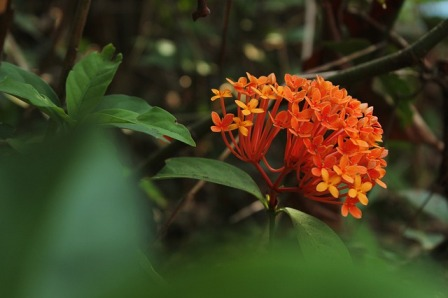 macam bunga Asoka