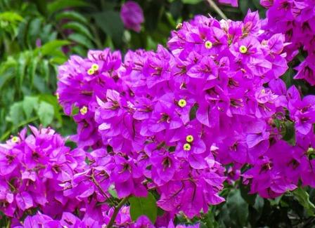 Macam bunga, Bugenvil Veranera ungu