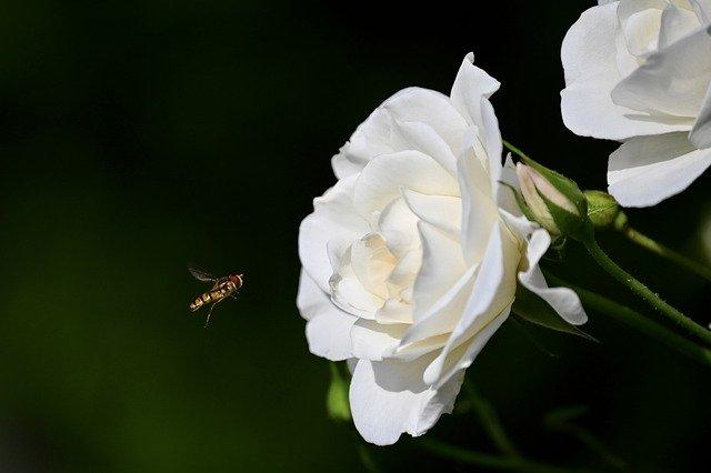 Mawar Putih Yang Menggoda Filosofi Dan 6 Fakta Menarik Di Baliknya
