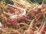 Menyandarkan Harapan pada Tanaman Herbal Asli Indonesia Atasi Covid-19