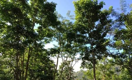 Peneliti Temukan Perubahan Iklim Perpendek Usia Pepohonan