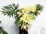 Philodendron Selloum, Keistimewaan, Pertumbuhan dan Tips Merawatnya