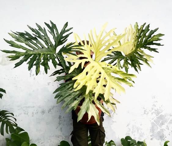 Philodendron Selloum Keistimewaan Pertumbuhan Dan Tips Merawatnya