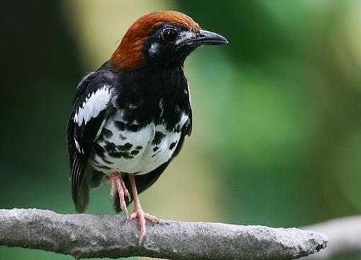 Seratusan Burung Anis Menanti Kebebasan Terbang di Pulau Flores
