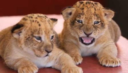 Bayi Singa Mengantar Irawan dan Ketiga Rekannya ke Penjara