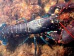 Benihnya Kembali Diekspor, Ini Fakta Lobster dan Siklus Hidupnya