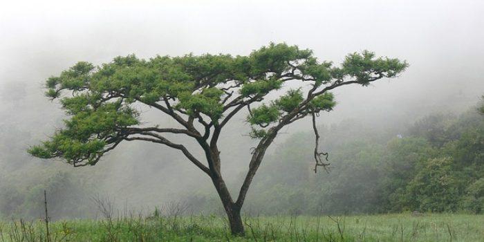 Berkenalan dengan Akasia, Pohon Kenangan yang Kembali Diidamkan