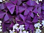 Berkenalan dengan Bunga Oxalis, Tanaman Cinta yang Mudah Dirawat