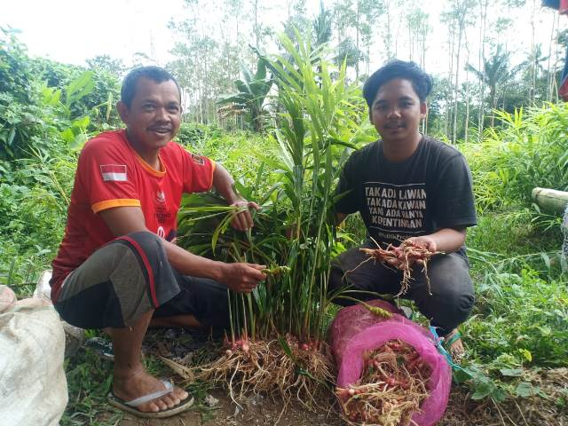 Budidaya Jahe Merah, Petani di Sinjai Siap Panen Tahun Ini