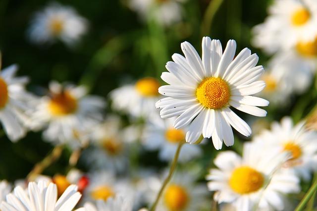 Bunga Aster, Kembaran Krisan dengan Ragam Warna Menawan