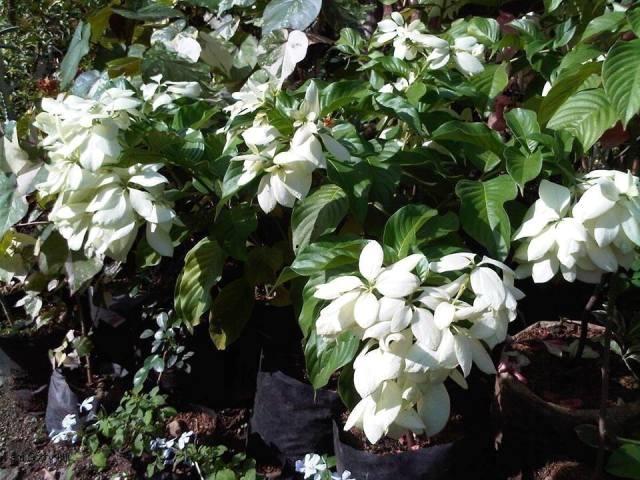 Bunga Nusa Indah dan Ragam Fakta Mengejutkan di Baliknya
