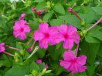 Bunga Pukul Empat Tebar Manfaat, dari Kanker hingga Usir Jerawat
