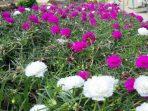Bunga Pukul Sembilan, Sering Dianggap Gulma Namun Kaya Manfaat