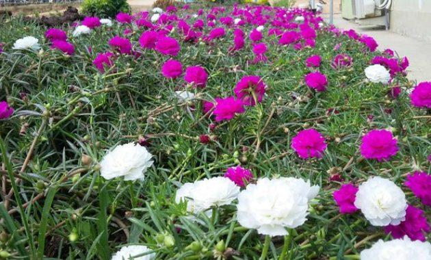 Bunga Pukul Sembilan Sering Dianggap Gulma Namun Kaya Manfaat