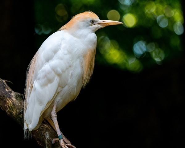 Burung Kuntul Kerbau, Penyeimbang dan Pengendali Hama pada Ekosistem Persawahan