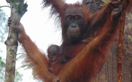 Kelahiran Pancaran dan Fakta Tak Terduga dari Orangutan
